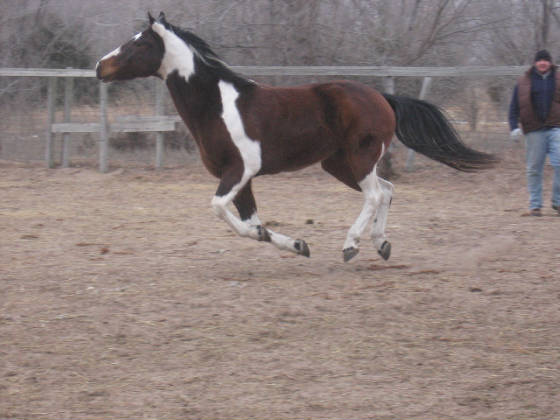 GALLOPING BAREFOOT PAINT HORSE 2011