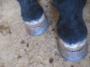 Hoof cracks from mold poisoning
