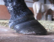 SINKER: LAMINITIS FROM WOUND HEALING PROCESS